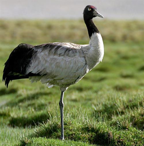 free dowloading pics of black crane wiki